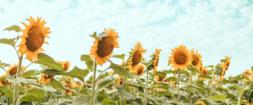 Beautiful panoramic view of big golden sunflower field in the countryside. Yellow sunflower close up.