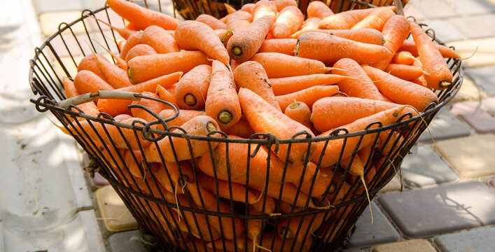Basket with young fresh carrot prepared for sale. Freshly harvested carrots. Harvesting organic vegetables. Agriculture and farming. Selective focus