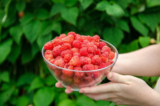 Freshly picked raspberries in hand of farmer. Summer healthy harvest. Berry harvesting. Selective focus