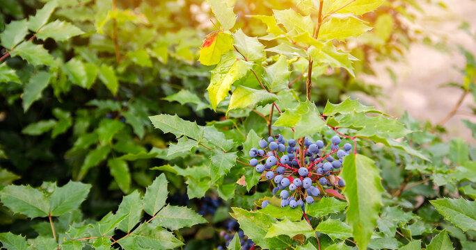 Blue berries Mahonia aquifolium (Oregon-grape or Oregon grape) and bush is a species of flowering plant in the family Berberidaceae, native to western North America. Natural wallpaper.