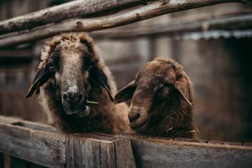Fototapeta Brown sheep on a farm obraz