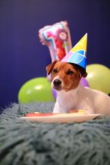 Obraz Dog birthday. Jack Russell Terrier. - fototapety do salonu