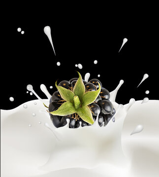 Splash and drops yogurt, milk, ice cream from falling ripe blackberry isolated