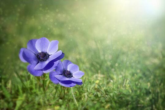 Field of beautiful blue flowers .Spring landscape of wildflowers.