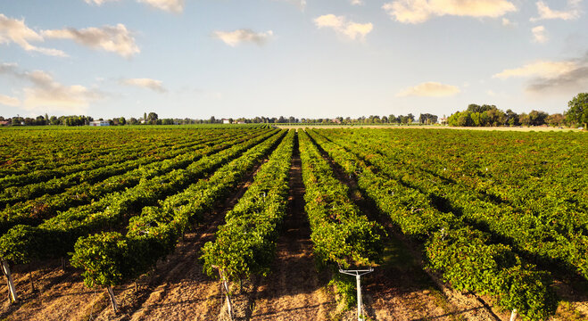 Aerial view of Italian red grape vineyard