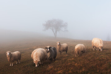 Fototapeta Herd of sheeps in foggy autumn mountains. Carpathians, Ukraine, Europe. Landscape photography obraz