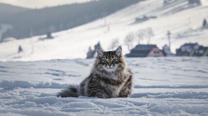Kot Syberyjski czyli puszystość na zimowym spacerze