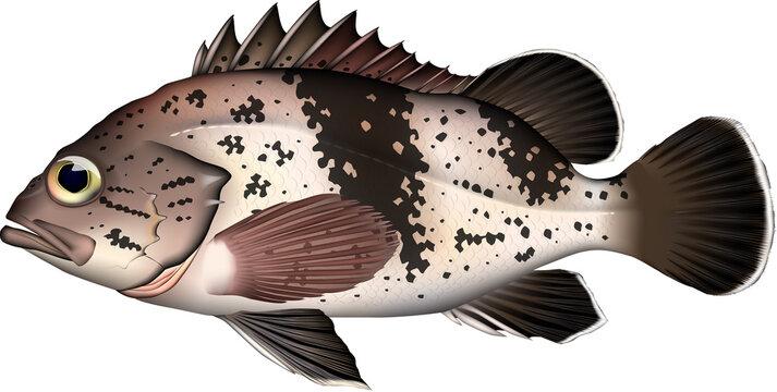魚イラスト タヌキメバル vector AI形式 jpg