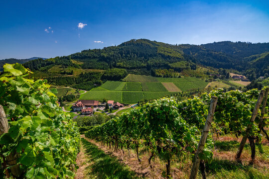 The path in the German vineyards in Durbach in the Black Forest on a sunny summer day