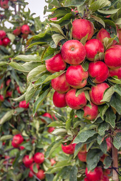 Lots of ripe red apples growing on the standard apple tree in a Dutch apple orchard. It's almost fall now.
