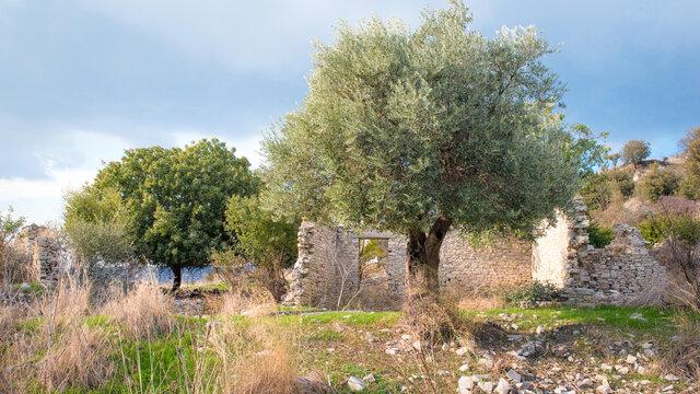 Rural depopulation. Fruit trees in abandoned old village of Trozena, Cyprus