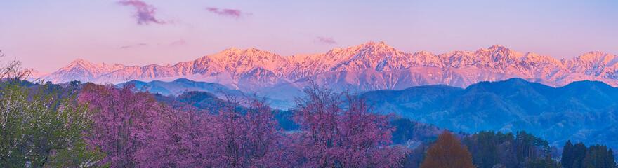 Fototapeta 小川村立屋より桜越しに望む北アルプスの朝焼け obraz