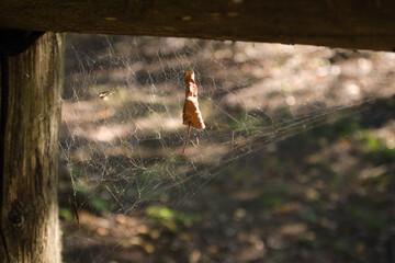 Jesienny liść na pajęczynie