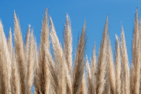 Pampas grass against a clear sky background