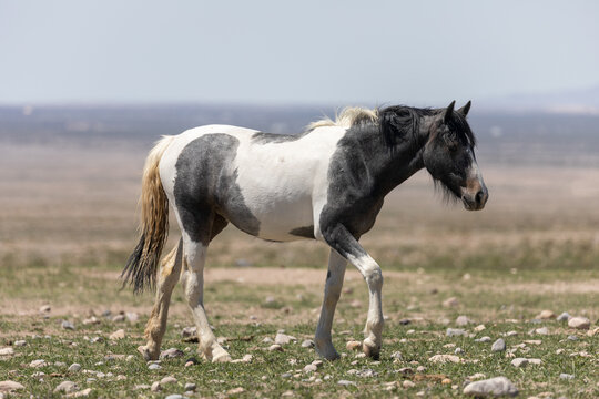 Beautiful Wild Horse in Sring in teh Utah Desert