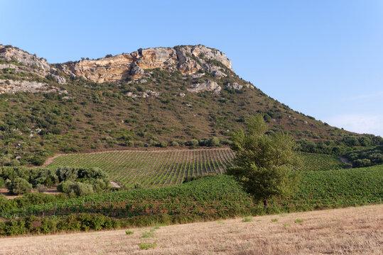 Patrimonio vineyard in the corsica cape