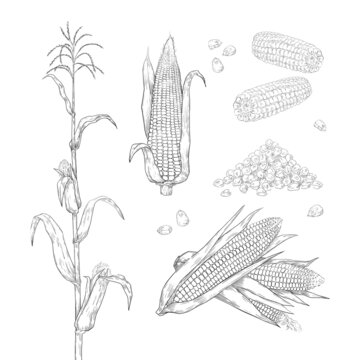 Hand drawn corn. Sweet maize cobs. Grains and leaves sketch for food package labels and restaurant menu. Agricultural plant and heap of seeds. Vector botanical engraving elements set