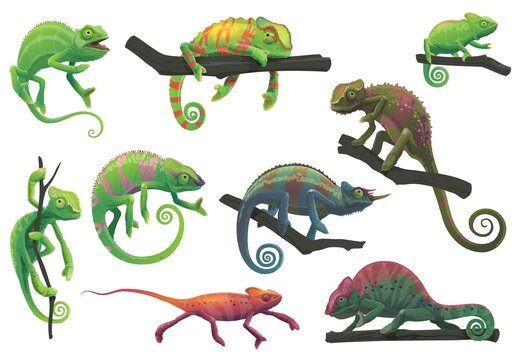 Chameleon lizards with tree branches vector set with cartoon reptile animals of panther, jackson, veiled, green and red chameleon in different poses. Lizards with camouflage skin, tropical wildlife