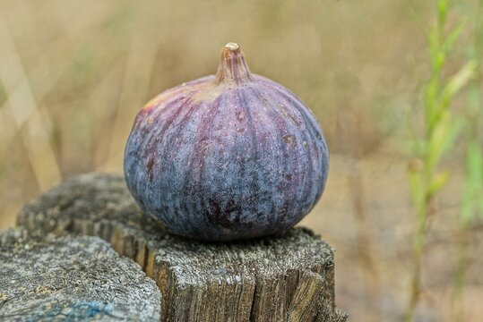 food of one big ripe colored fresh round fruit fig lies on gray wooden board