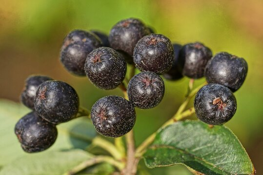 many black  ripe chokeberry berries on a thin branch with green leaves in nature
