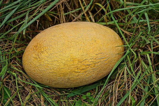 A one yellow melon lies in the green vegetation and grass in nature