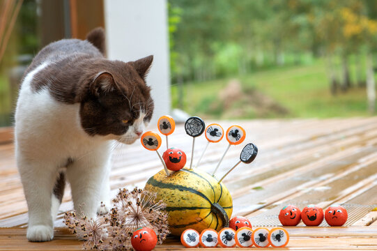 British shorthair cat and halloween decorations with pumpkins and sweets candies on the home wooden terrace