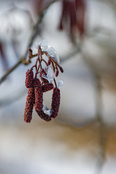 Birch earrings are covered with ice slices.
