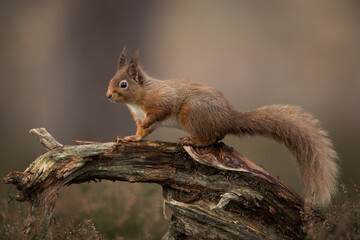 Fototapeta Red squirrel percehd on a log with a brown background.  Taken in the Cairngorms National Park, Scotland. obraz