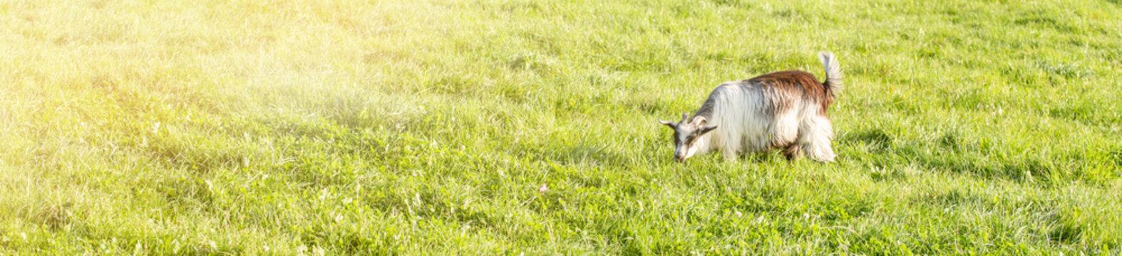 goats in the field under sun light