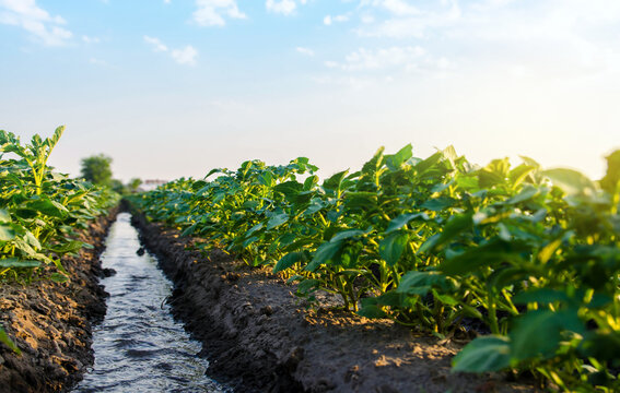 Water flows through the potato plantation. Watering and care of the crop. Surface irrigation of crops. European farming. Providing farms and agro-industry with water resources. Agriculture. Agronomy.