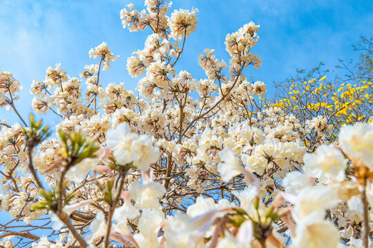 White Ipe tree, beautiful white flowers on a blue sky day.