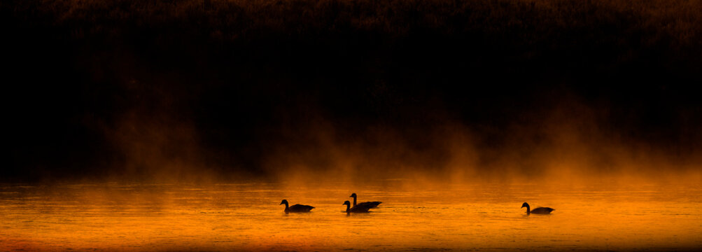 Several Canadian Geese Swimming in River with Mist or Fog and Trees