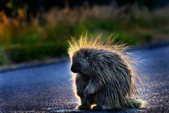 Porcupine in Wilderness Backlit by Early Morning Sunlight