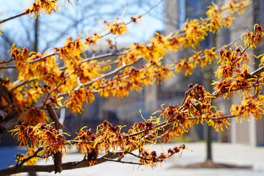 Yellow orange flowers of witch hazel hamamelis shrub