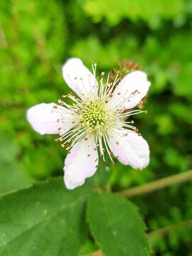 Rubus scaber (in german Scharfe Brombeere) Rubus scaber