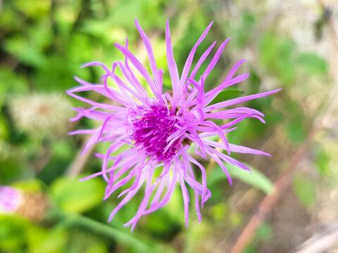 brown knapweed also brownray knapweed (in german Wiesen-Flockenblume also Gewöhnliche Flockenblume) Centaurea jacea