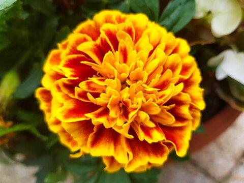 marigold (in german Studentenblume also Samtblume) Tagetes