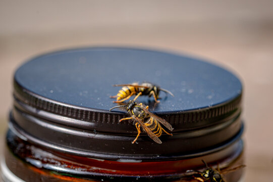 Wasp, Vespula vulgaris,  on a jam jar lid