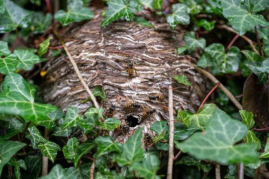 Wasp nest hidden amongst ivy