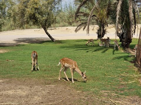 deer in the savannah