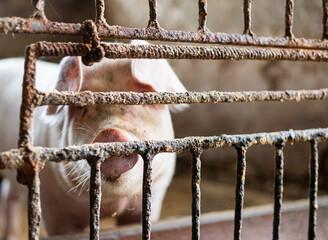 Hodowla świń. Zwierzęta gospodarskie trzymane w klatce na ubój. Świnia w rzeźni. Hodowanie zwierząt na mięso.