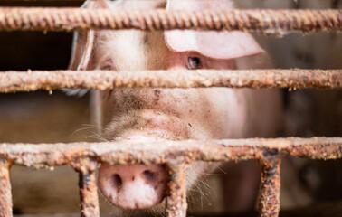 Smutna świnia. Hodowla zwierząt gospodarskich na ubój. Zwierzęta w rzeźni trzymane w skrajnych warunkach.