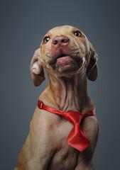 Fototapeta Brown colored purebred doggy weimaraner breed with necktie obraz
