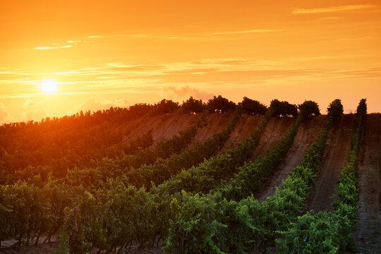 Vineyard in the hills of Aleria in eastern plain of Corsica