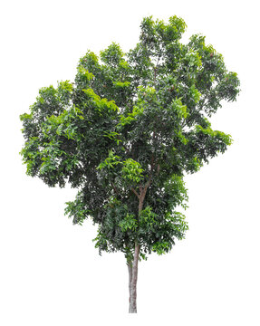 Large green tree isolated on white background, clipping path.