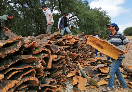 Workers stack pieces of cork after being harvested from the trunks of cork trees in Ain Draham in Jendouba