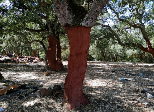 The trunk of a cork tree is seen after having its cork bark harvested in Ain Draham in Jendouba
