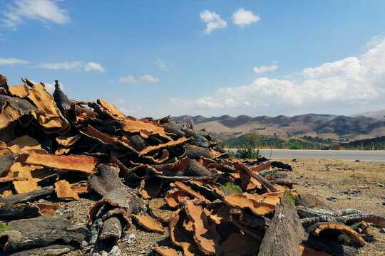Pieces of cork are pictured after being harvested from the trunks of cork trees in Ain Draham in Jendouba