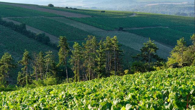 Chablis vineyard in the Bourgogne region