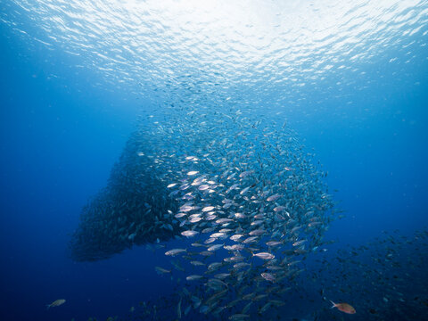 Bait ball, school of fish in turquoise water of coral reef in Caribbean Sea, Curacao
